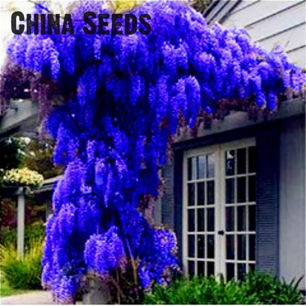 2016 wisteria seeds 10pcs pack rare bonsai wisteria tree seeds garden ornamental plant flower. Black Bedroom Furniture Sets. Home Design Ideas