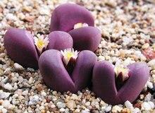 Lithops оптика Rubra Редкие mesembs экзотические сочные живые камни кактус 10