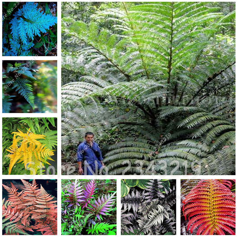 Hot Selling! Rare Flower Fern Seeds, Vines, Climbing Plants, Japanese Ornamental Grass B ...