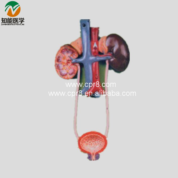 BIX-A1068 Urinary System Model MQ131 human anatomical male genital urinary pelvic system dissect medical organ model school hospital