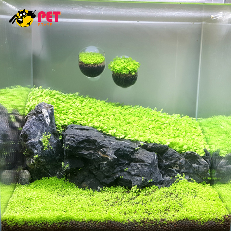Glossostigma Dwarf Baby Tears Hemianthus Callitrichoides Java Moss Live Aquarium Plants Fish Tank Decoration Landscape In Decorations From Home Garden On