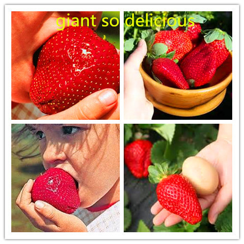 300 Seeds / bag, Super Giant Strawberry Fruit Seed 99% fresh rare and exotic fruits