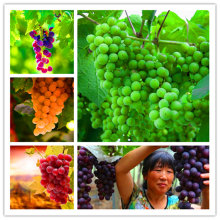 New arrival!50pcs kinds of Grape Vine Seeds giant Organic sweet fruit seeds Succulent Perennial herbs plants DIY for home garden