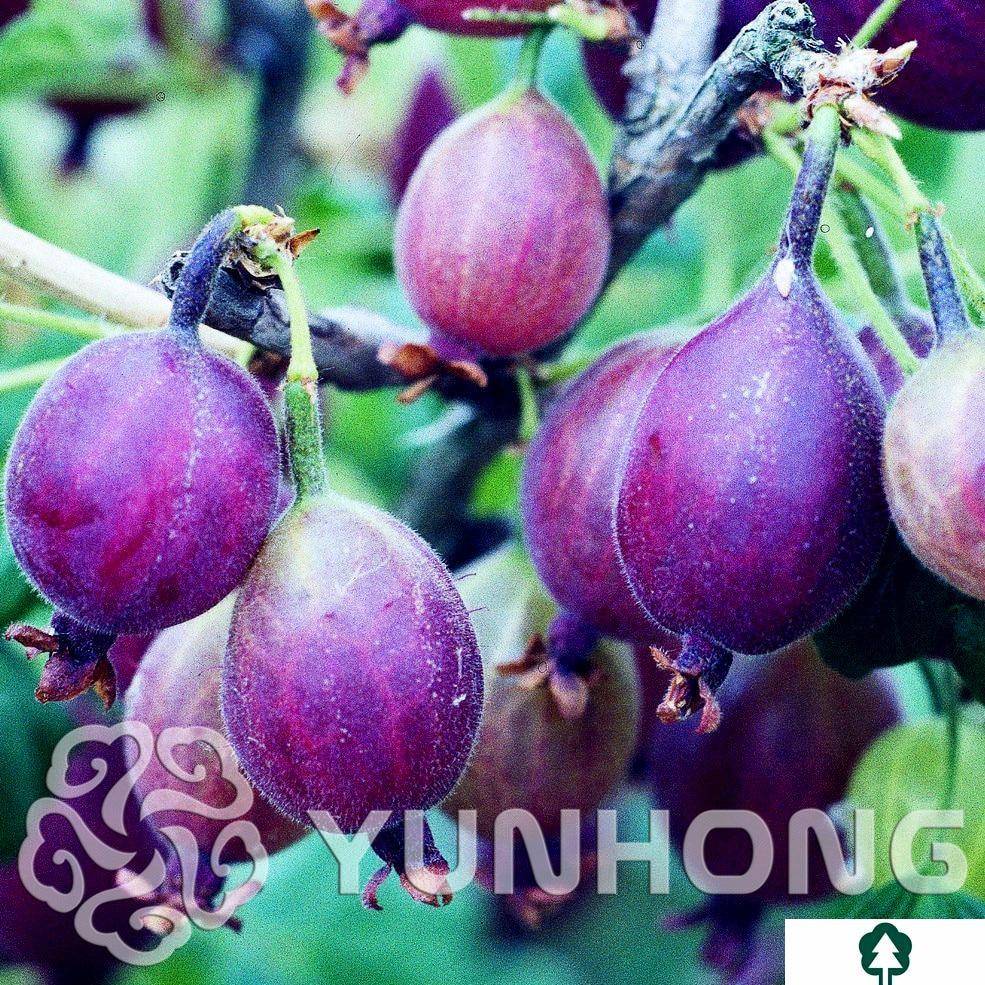 Новое поступление 50 шт. сумка красная смородина фруктовый завод Pan-american Gooseberry бонсай фонарь фрукты Bonsa Sementes для садовое насаждение