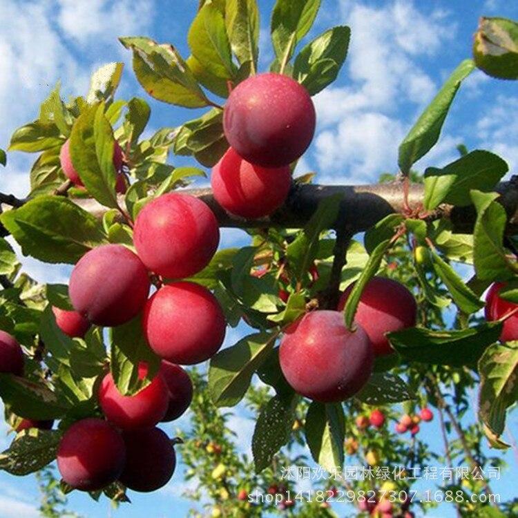 Южный сортов горшках plum фрукты оптом фрукты plum бонсай созревания три китайских Li Zaiji направить 10 шт./упак.
