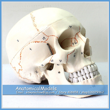 ED-SKULL05 Numbered Classic Human Skull Anatomy Model,  Medical Science Educational Teaching Anatomical Models