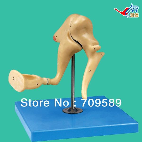 ISO Uditiva Ossicino Modello, Modello anatomicoISO Uditiva Ossicino Modello, Modello anatomico