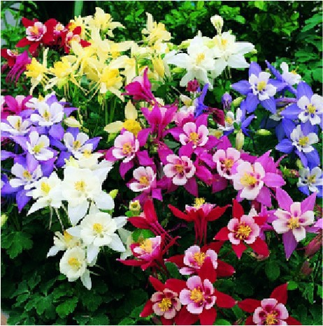 Buy Columbine Flower Perennials And Get Free Shipping On Aliexpress