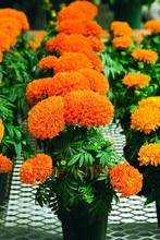 100 pcs  African marigold seeds Osteospermum Ecklonis Flower Half Hardy Perennial for Home Garden Bonsai Plant