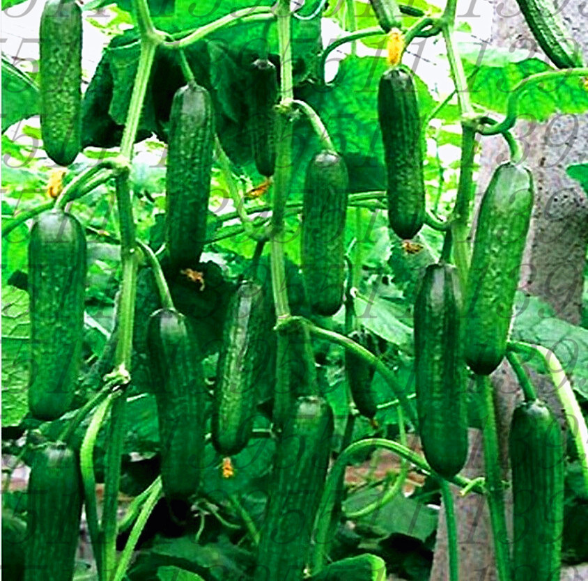 100pcs/bag cucumber seeds red yellow white cucumber seven kinds of choices balcony garden fruits and vegetables for home garden