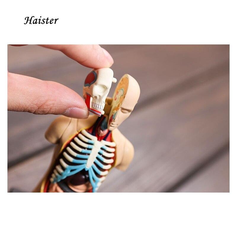 4D modell von Menschlichen körper modell von kleine/kopf/thorax ...