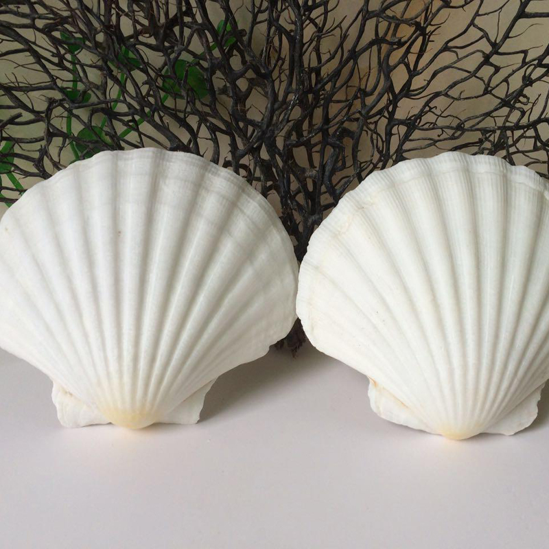 HappyKiss 2pcs/lot Natural Conch Large Shell White Scallop White Fan Shell Scallop Fish Tank 8-14cm White Shells