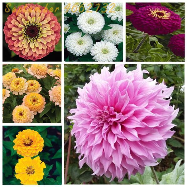 2019 Promozione! 25 Colori Zinnia Bonsai Perenne Piante da fiore In Vaso Cinese Charming Fiori Bonsai 100 Pcs Libera Il trasporto
