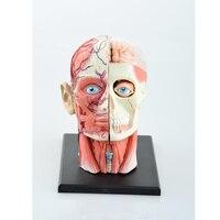 Science Toys Dental Lab Dentist 4DMaster Human Head Anatomy Medical Skull Model Skeleton Children Kids Educational