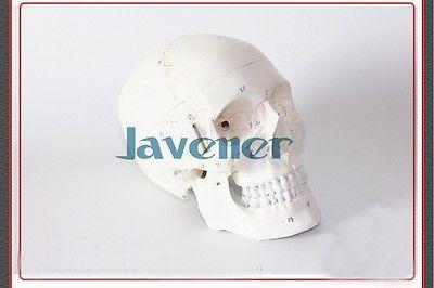 A Grandezza naturale Umano Anatomia Anatomico Testa di Scheletro Modello di Cranio A Buon Mercato E FineA Grandezza naturale Umano Anatomia Anatomico Testa di Scheletro Modello di Cranio A Buon Mercato E Fine
