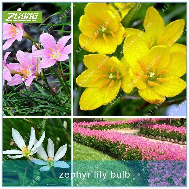 Zlking 2Pcs Zephyranthes Flowers Bulb Home Garden Hydroponics
