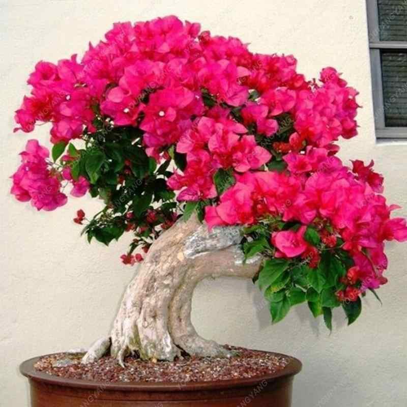 10 قطعة جميلة ترايسيراتوبس شجرة البوغانفيليا المنظارية Willd ترايسيراتوبس بونساي زهرة النباتات ديكور حديقة المنزل