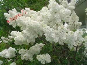 100 pz Bianco Giapponese Lilla bonsai Estremamente Fragrante chiodi di garofano fiore bonsais Plantas per il giardino di casa Della Decorazione di Vendita Calda