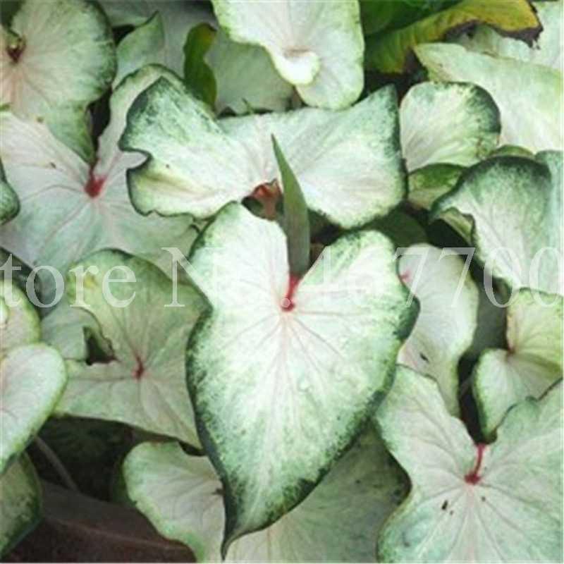 100 قطع غريبة تايلاند Caladium ذو لونين بونساي شرفة المحرقة روز الفيل الأذن زهرة الأعشاب المعمرة وعاء مصنع المنزل والحديقة
