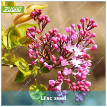 Buy tall garden flowers and get free shipping on aliexpress zlking 60pcs syzygium aromaticum seed flower seeds bonsai plants for home garden tall perennial flowers scented mightylinksfo