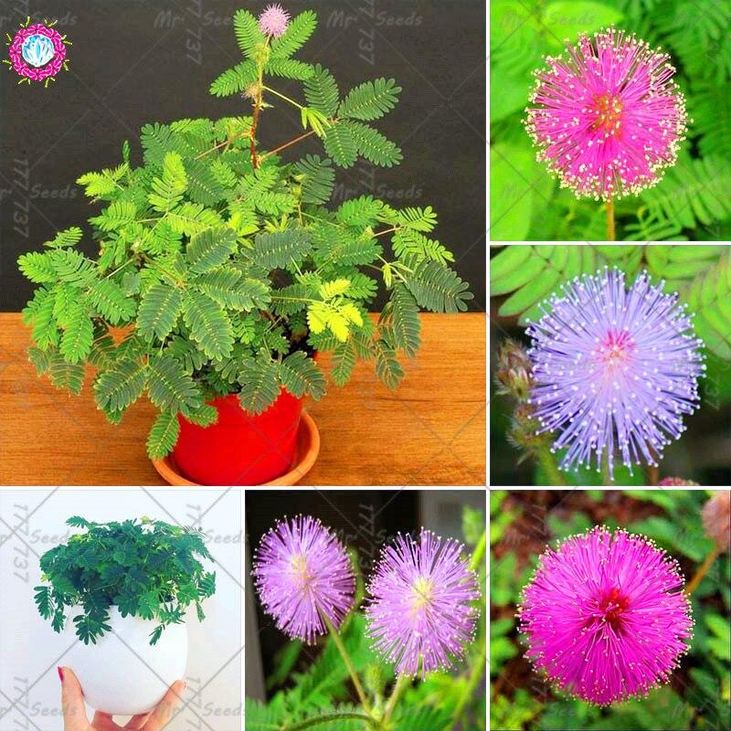30Pcs Multi-color PerennialGarden Mimosa Pudica Seeds Exotic Seeds Bonsai Bashful Grass Seeds Sensitive Plant For Garden