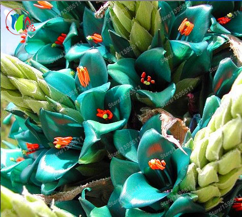 2016 new giant bromeliad, 50pcs bromeliad rare seeds, <font><b>vibrant</b></font> turquoise blooms, electric blue, drought tolerant, home garden