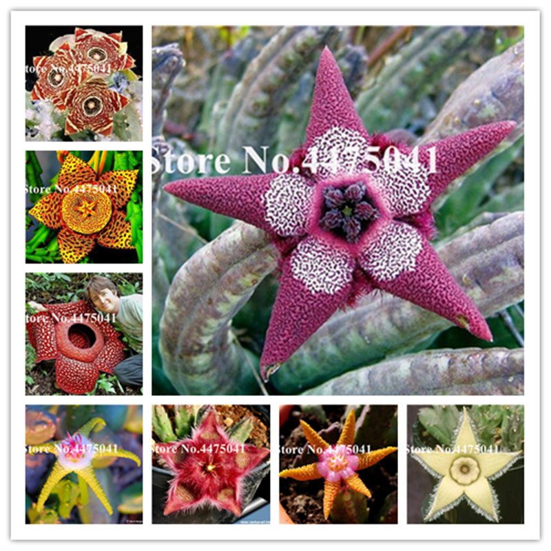 120 Pcs Stapelia Pulchella Bonsai Indoor Lithops Mix Succulents Raw Stone Cactus Flower Plants Rare Shape For Home Garden