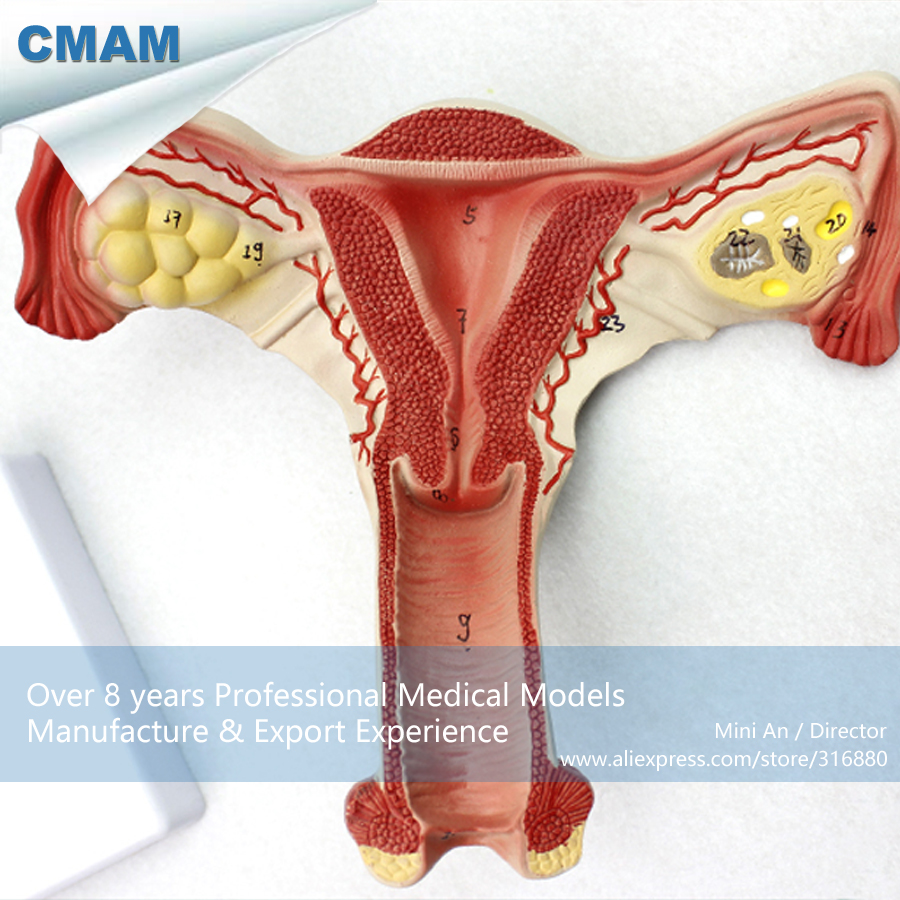 12443 CMAM ANATOMY05 Female Uterus Anatomy Model Show Female Genital ...