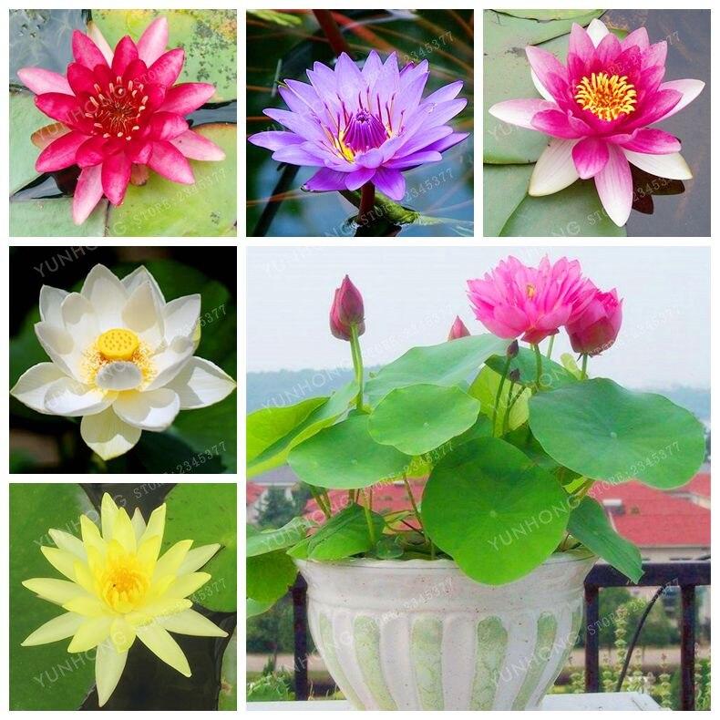 5 Pcs/Bag Lotus Flower Lotus Seeds Aquatic Plants Bowl Lotus Water Lily Seeds Perennial Plant For Home Garden