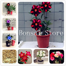 2pcs Mini Bonsai Desert Rose plants Exotic Adenium Obesum plants Flower Bonsai plants Air Purification Home Garden Potted Flower(China)