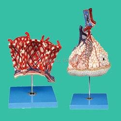 Lobule and Alveolus of Lung Model, Lobule moedl and Alveolus model.
