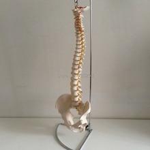 ISO Human Spine With Pelvic Simulation Model,Human Spine Bone Model,Intervertebral Disc Model