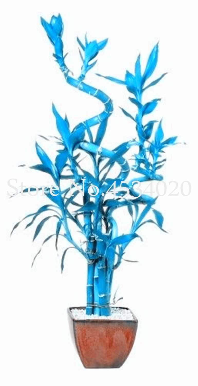 Смешанные 30 шт./лот Редкие синие Lucky Bamboo растения бонсаи, горшки для балкона, уличные комнатные растения для домашнего сада декоративные бонсай