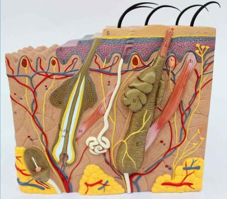 35-fold Three-dimensional Skin Model Skin Structure Anatomy Cosmetic Training AIDS
