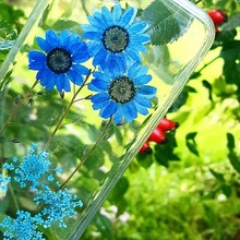 For iPhone 7 Plus Fashion Dried Flowers Phone Case 6G 6G Plus 5S Embedded Blue Sunflower Real Flower Case Full Protector Cover