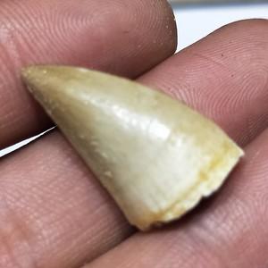 Image 4 - 1 pcs 20 30mm טבעי בעלי החיים מאובנים mosasaur שיניים מאובנים מינרלים דגימות עבור אוסף כמו מתנה דקור תליון משלוח חינם