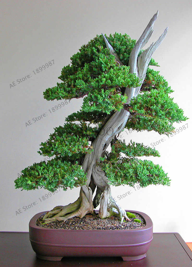 Lowest Price!50 juniper bonsai tree potted flowers office bonsai purify the  air absorb harmful gases juniper garden free shippi