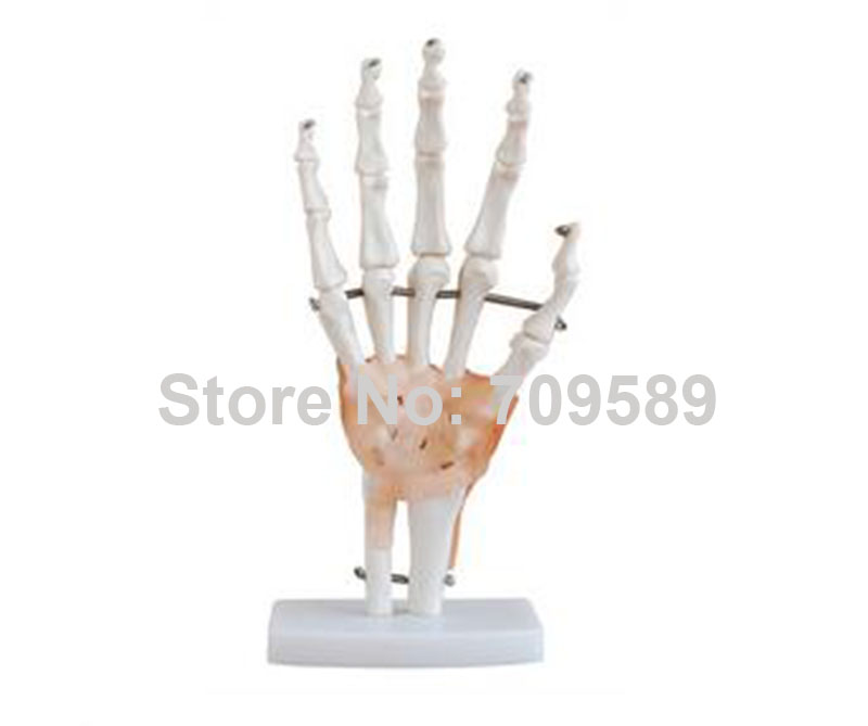 ISO Life-Size Hand Joint Model,  Anatomical Hand Model iso iv training hand venipuncture hand model iv injection hand model