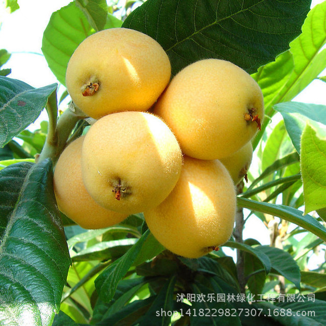 Direct seed loquat loquat seed wooden five-star loquat fruit spot south high 1 Seeds/Pack