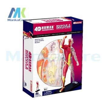 Comprar ahora 4D maestro Cuerpo Humano cráneo mano anatomicalmuscle ...
