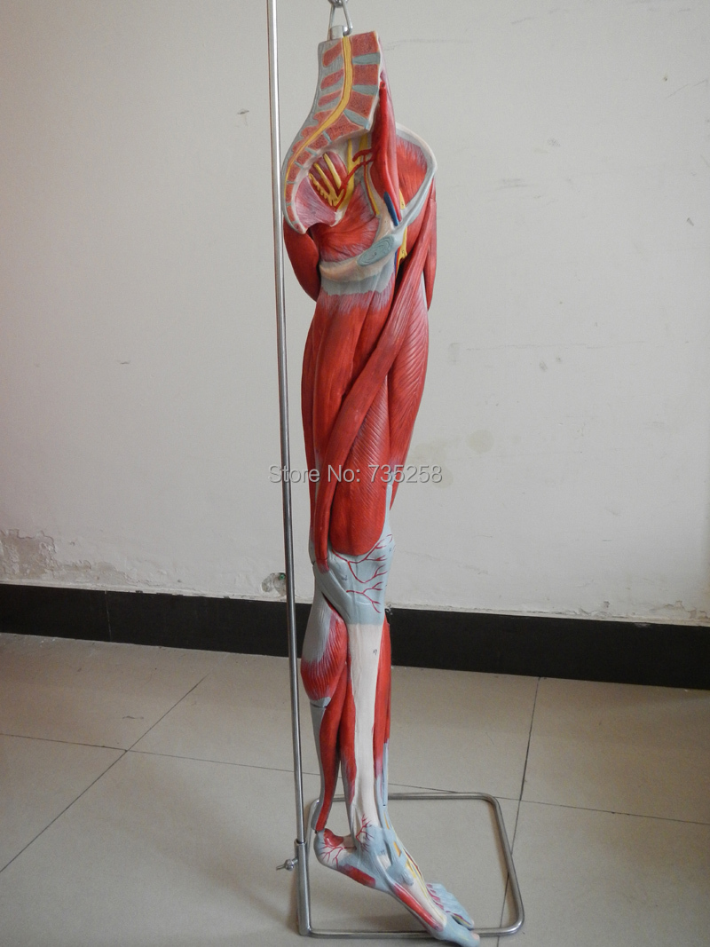 Muscles of Leg with Main Vessels and Nerves,Leg Limb Muscle Anatomy Model economic half head with vessels model anatomical head model with brain nerves vascular muscles and vessels