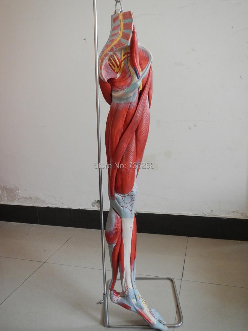 Muskeln von Bein mit Hauptgefäße und Nerven, Bein Gliedmaßen muscle ...