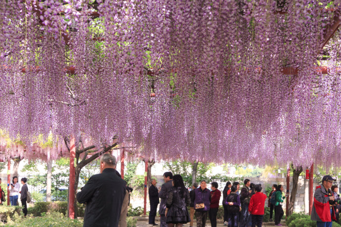 Large pink wisteria climbing plant 10pc tree seeds beautiful large pink wisteria climbing plant 10pc tree seeds beautiful flowers in bonsai from home garden on aliexpress alibaba group mightylinksfo
