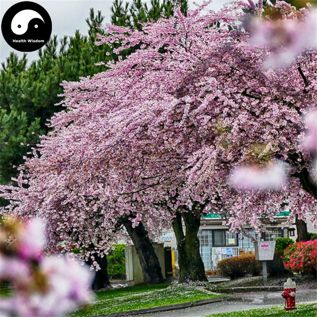 Acquistare sakura semi di albero 240 pz pianta prunus for Sakura albero