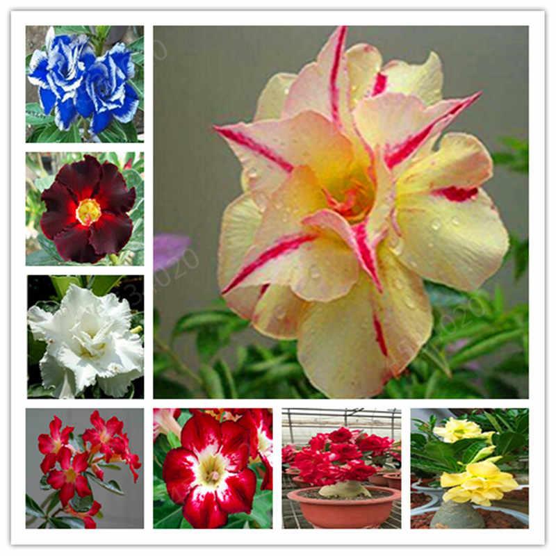 أنواع كثيرة 2 قطعة مختلفة الألوان العدينة Obesum بونساي بوعاء مصنع 100% جودة عالية حقيقية الصحراء روز المعمرة ل حديقة