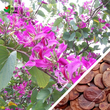 10Pcs/bag bauhinia flower seeds bauhinia tree butterfly tree rare orchid flower tree Seeds fresh bauhinia purpurea seeds 10pcs bag bauhinia flower seeds bauhinia tree butterfly tree rare orchid flower tree seeds fresh bauhinia purpurea seeds