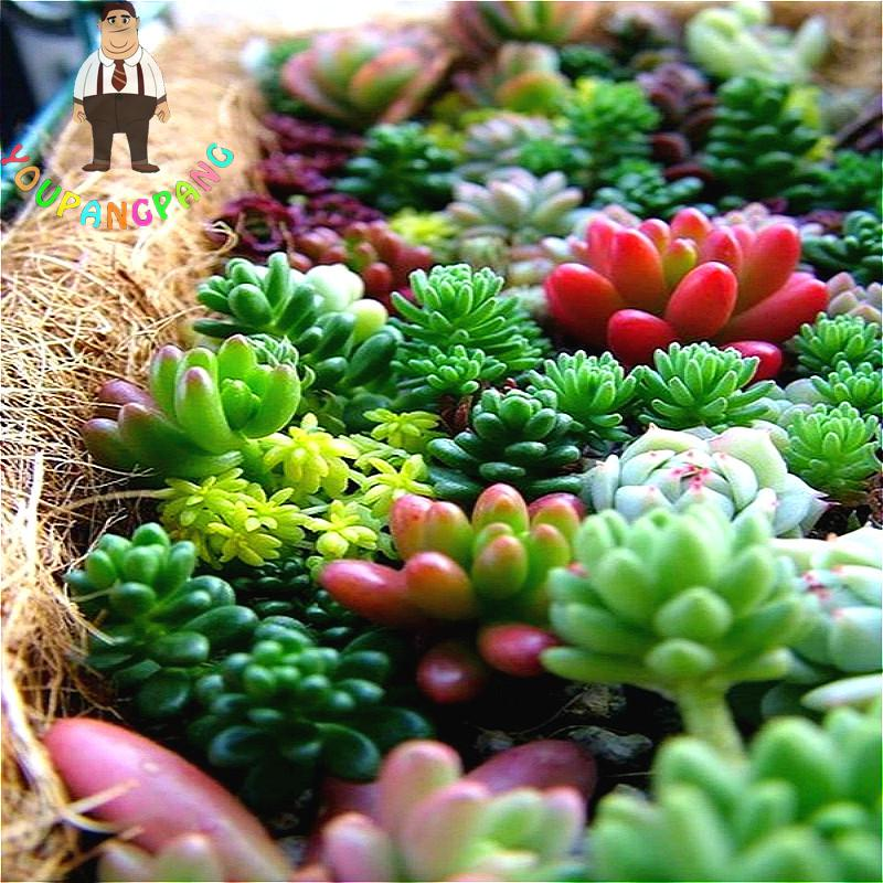 100pcs/bag Succulents Seeds Mix Echeveria Species Indoor Plants Flowers Gorgeous Array Of Colors Seed Bonsai Flower For Garden