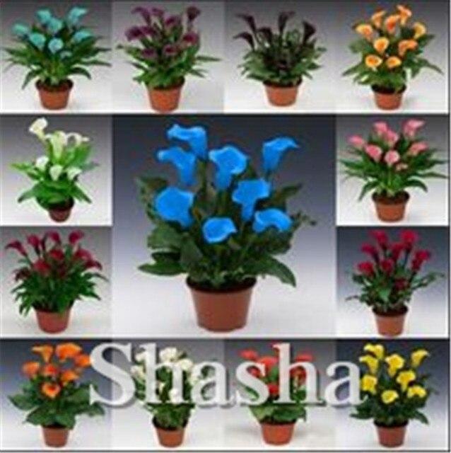 100 Pcs/bag Calla bonsai,Calla Lily flower,Rare Bonsai Flower flores (Not Calla Bulbs),Natural Growth for Home Garden Decoration
