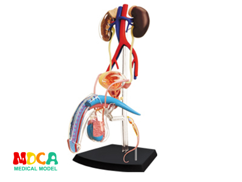 Male reproductive system 4d master puzzle Assembling toy human body organ anatomical model medical teaching model organ anatomical model teaching medical human body specimen model human lung anatomical model 4 parts gasencx 0055