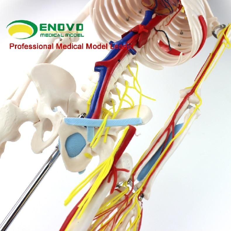 ENOVO Ιατρικό Ανθρώπινο Μοντέλο 85cm - Σχολικά και μαθησιακά υλικά - Φωτογραφία 3